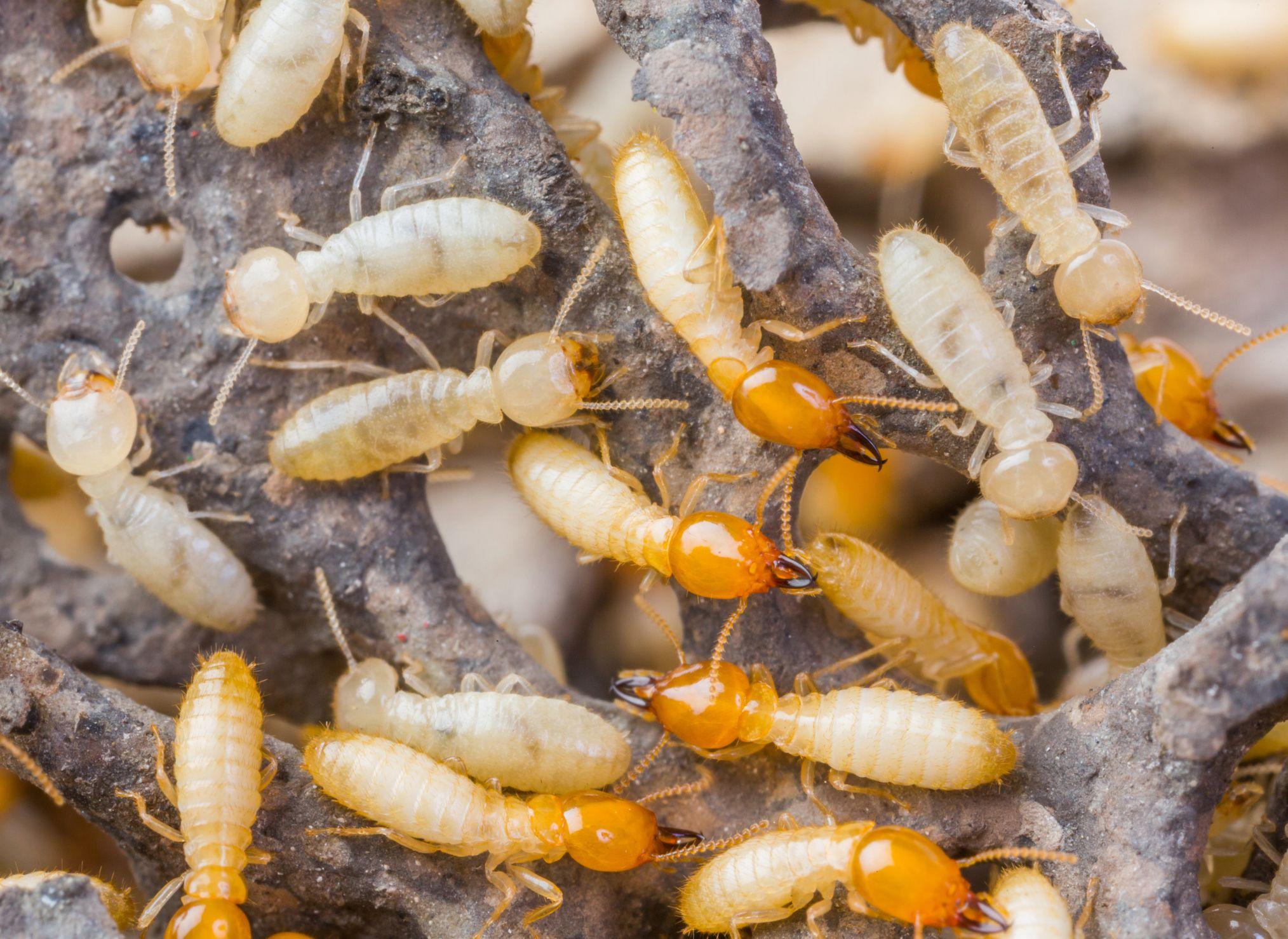 termites-stock
