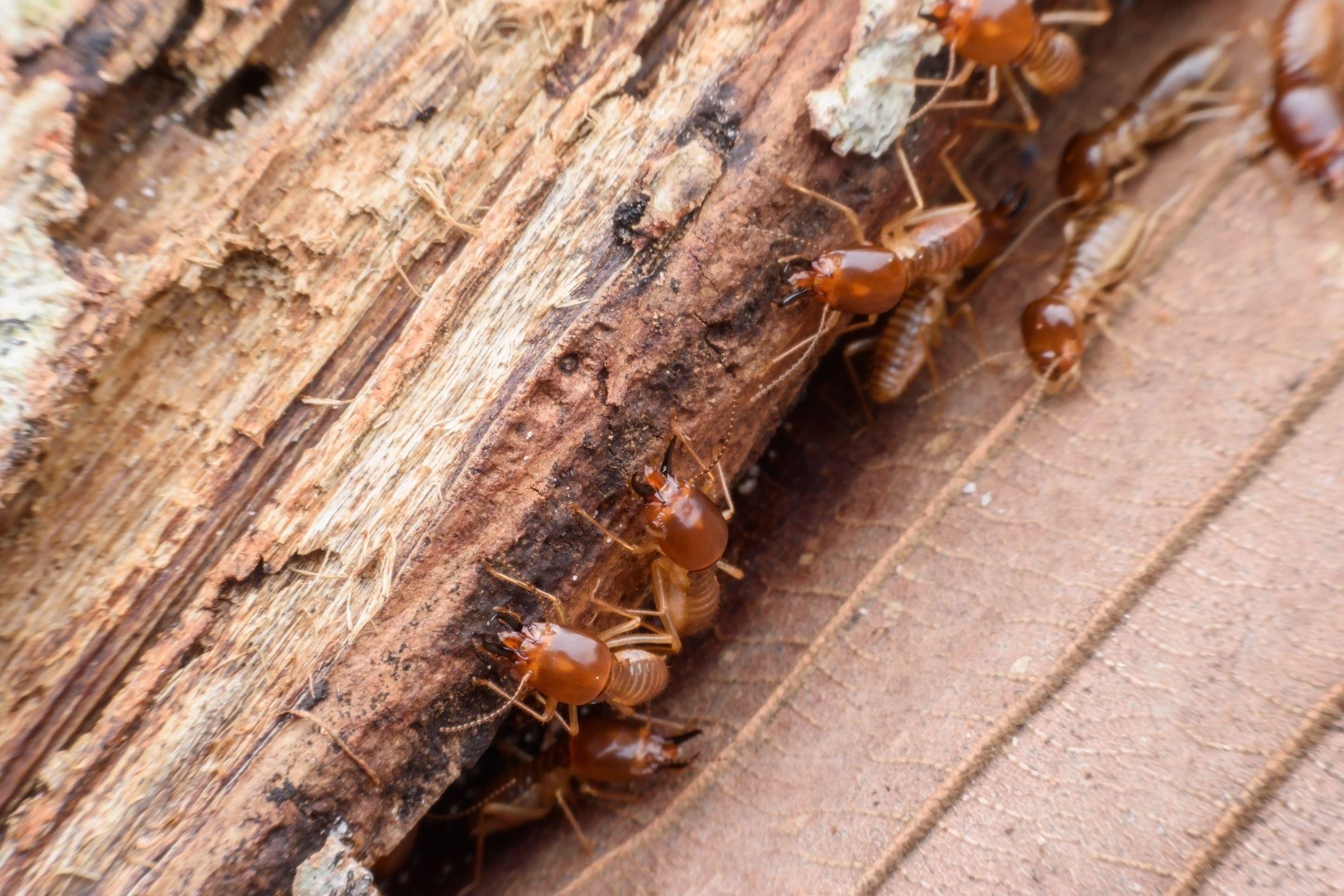 termites-getty-stock