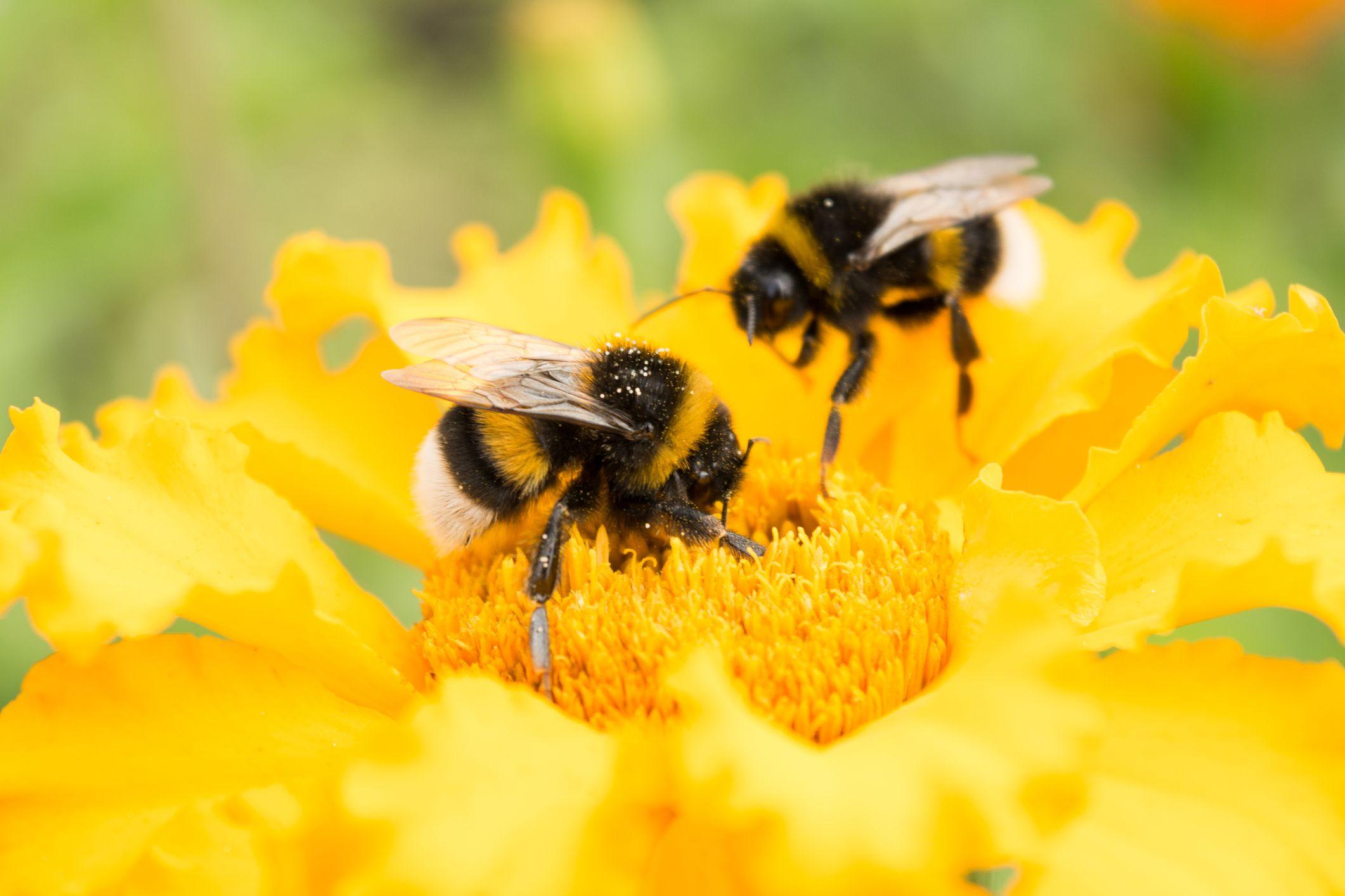 Bee Death: Scientists Warn Common Weed Killer Glyphosate ... - photo#42