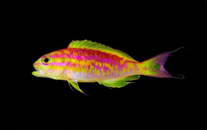 9_25_Aphrodite fish