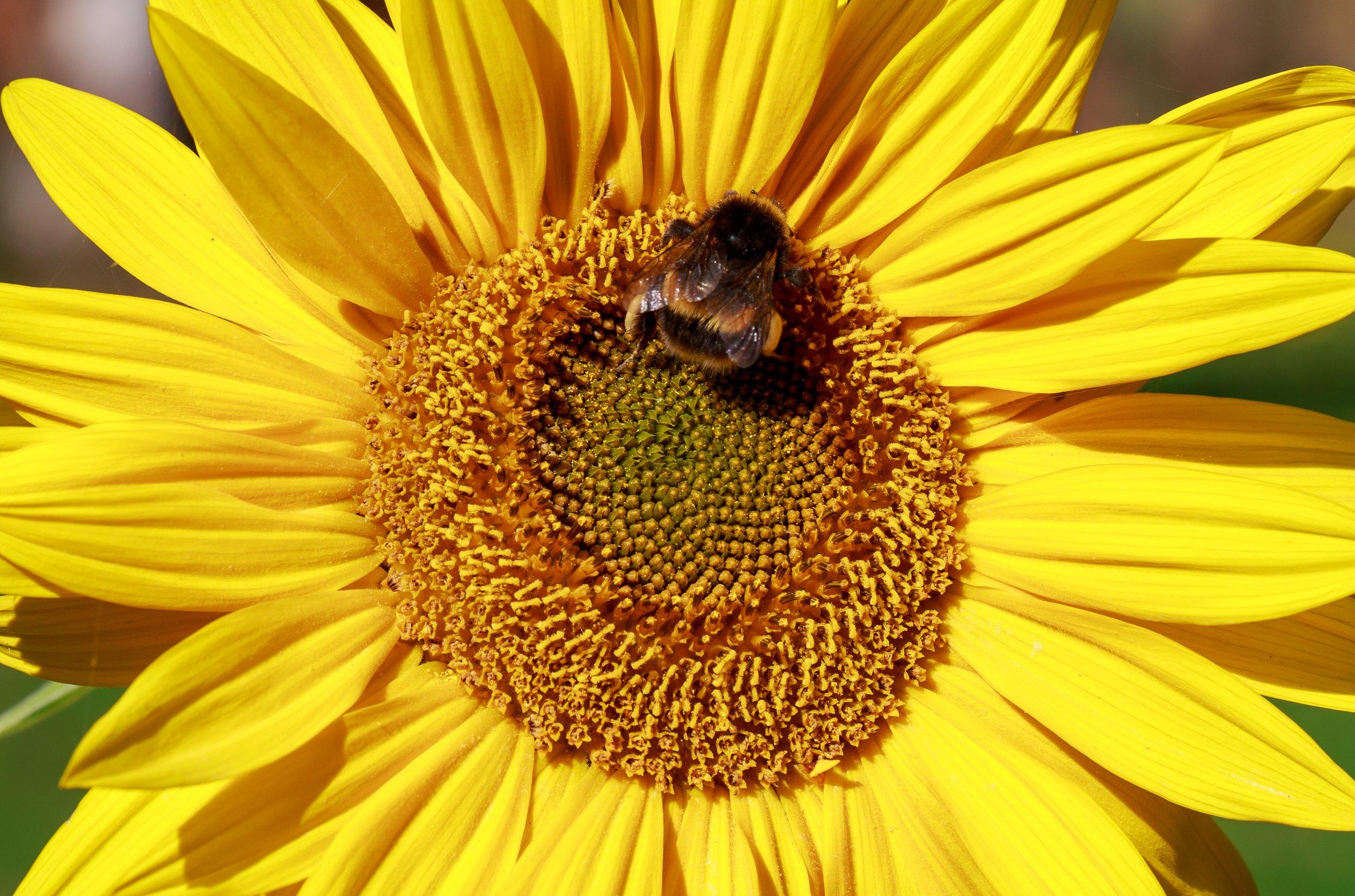 sunflowers-bee-stock