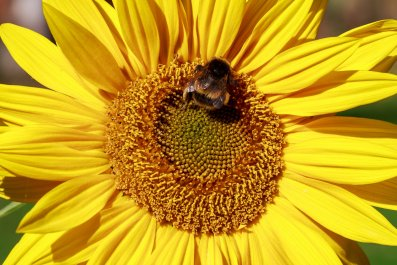 sunflowers-bee-stock