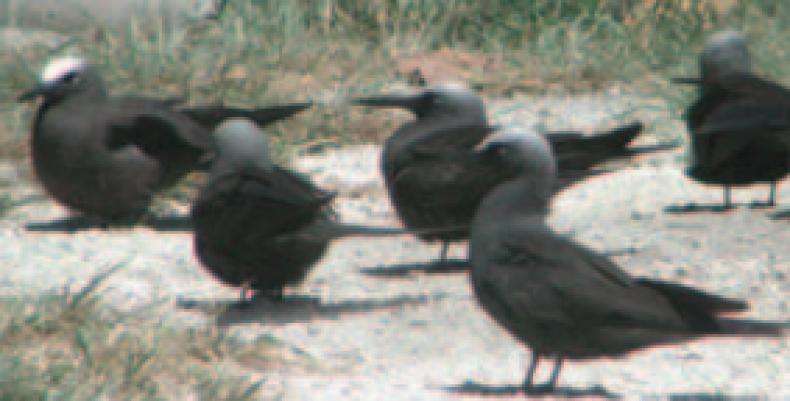 Johnston Atoll seabirds