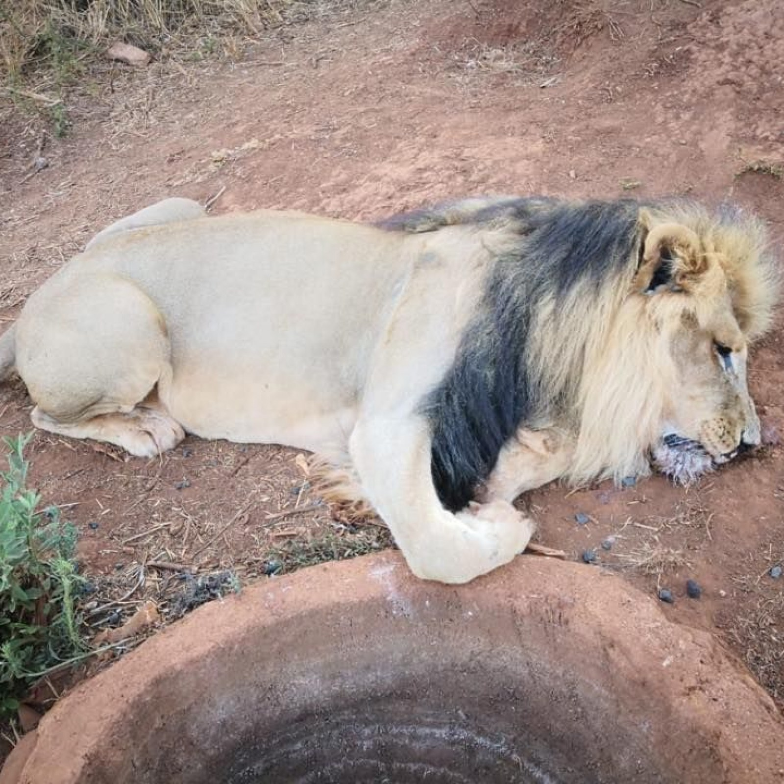 Mufasa the Lion Has Face and Paws Chopped Off, 4 Other Lions