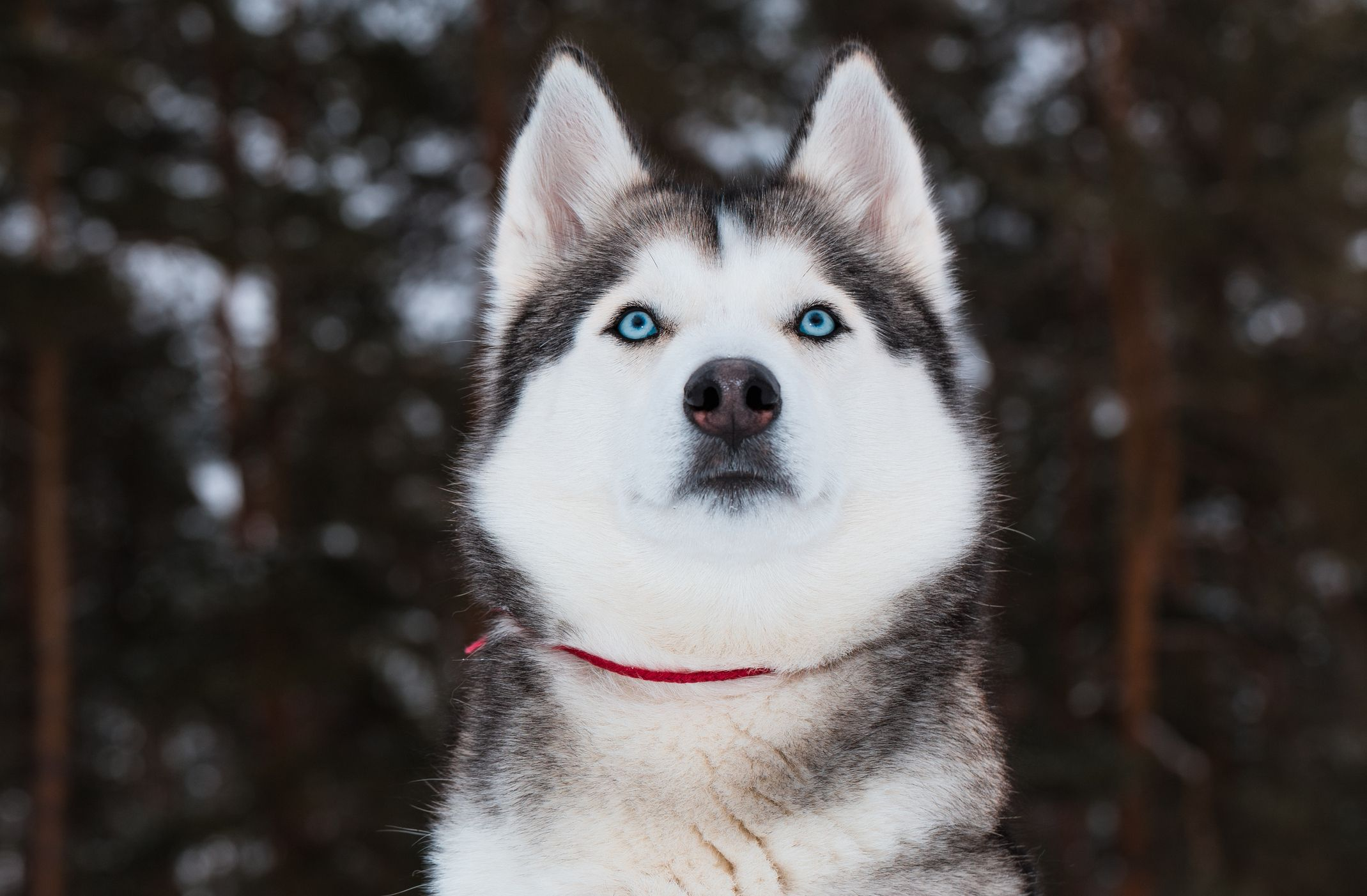 husky-getty