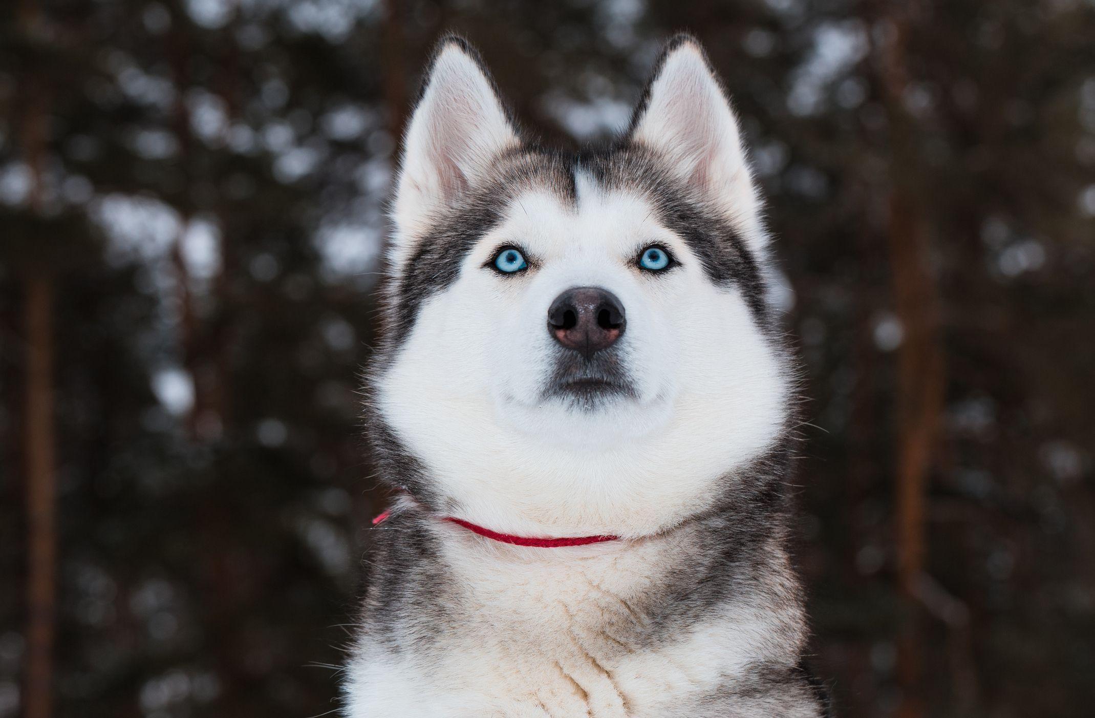 husky-getty