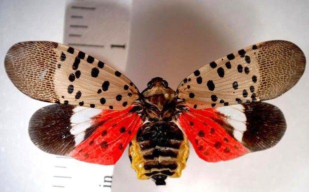 Christmas Tree Lanternfly Bug