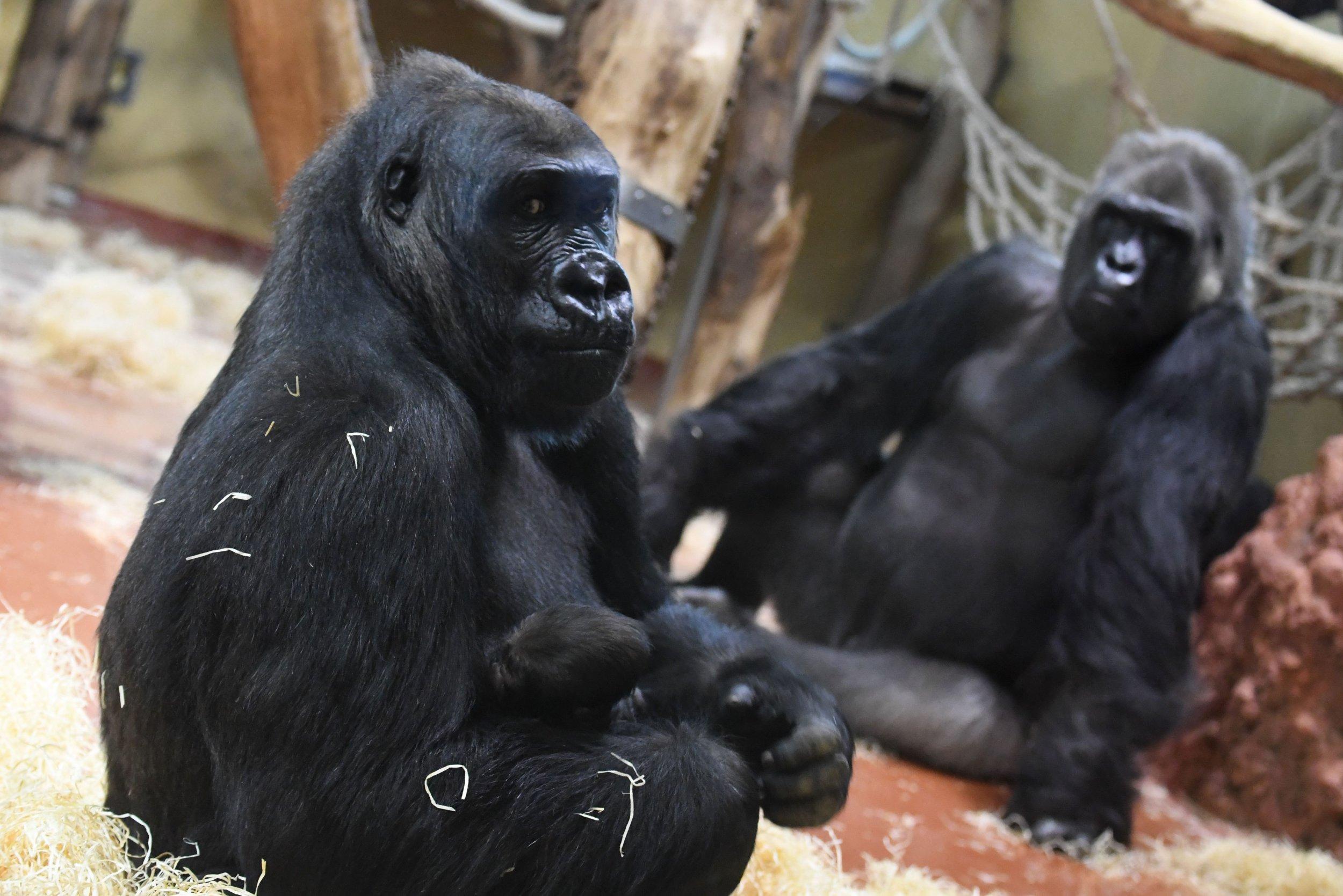 Gorilla Parents