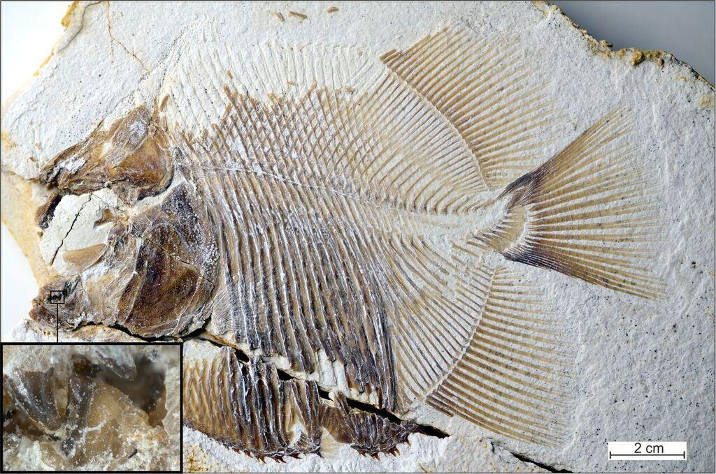 ancient piranha