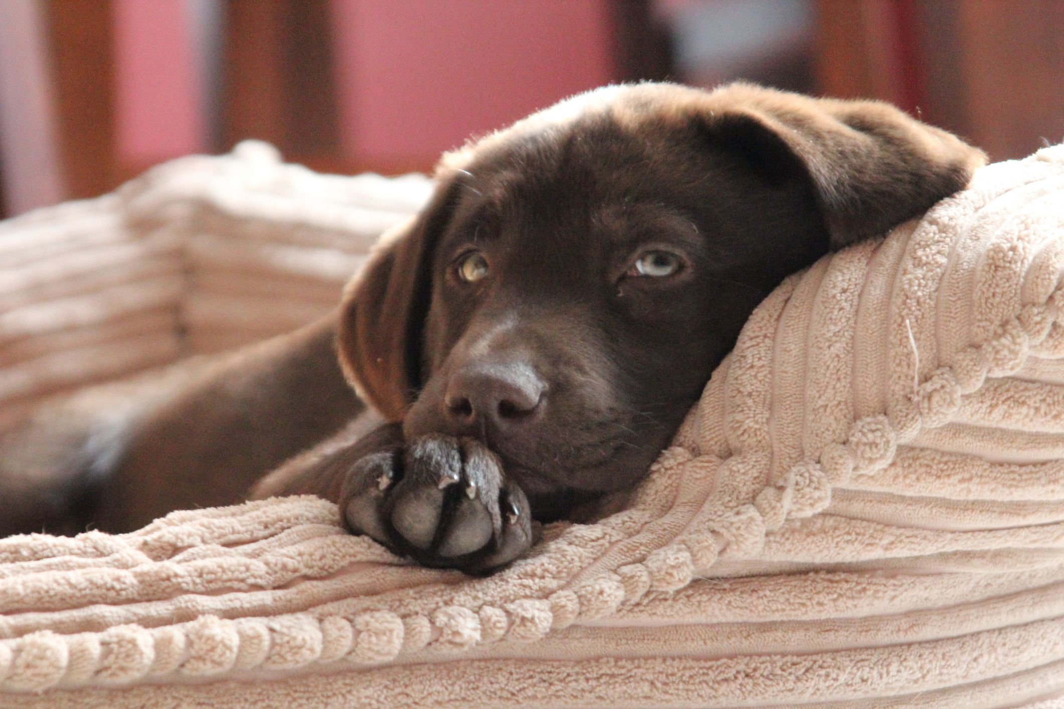 Chocolate Labradors Die Earlier Than Black Or Yellow Labs Because Of Breeding For Color