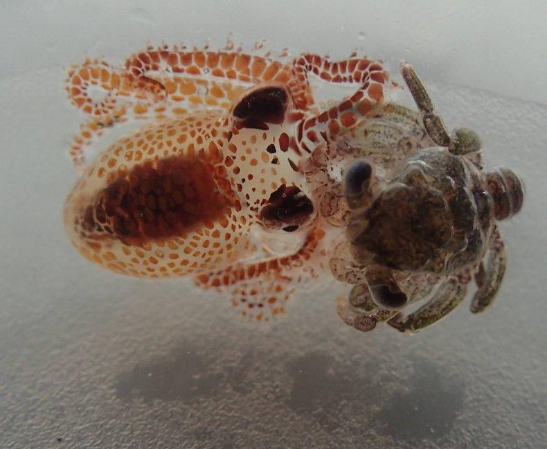 10_25_Octopus Crab