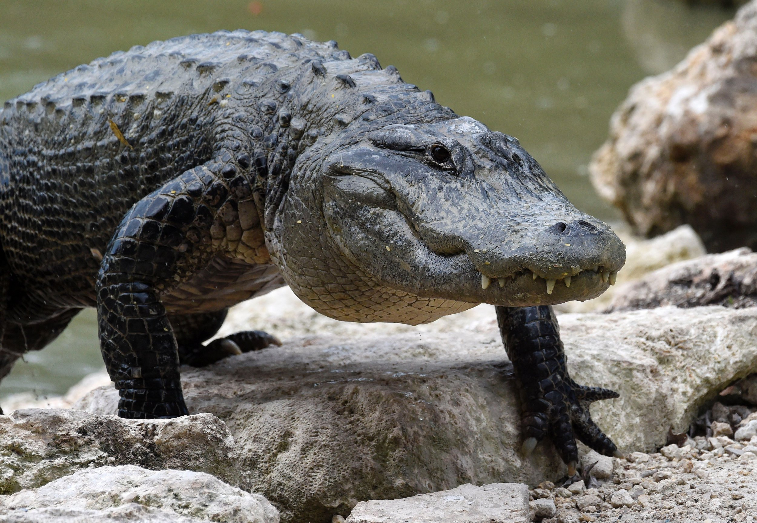 Florida: Walmart Shoplifter Found With Two Dead Alligators ...
