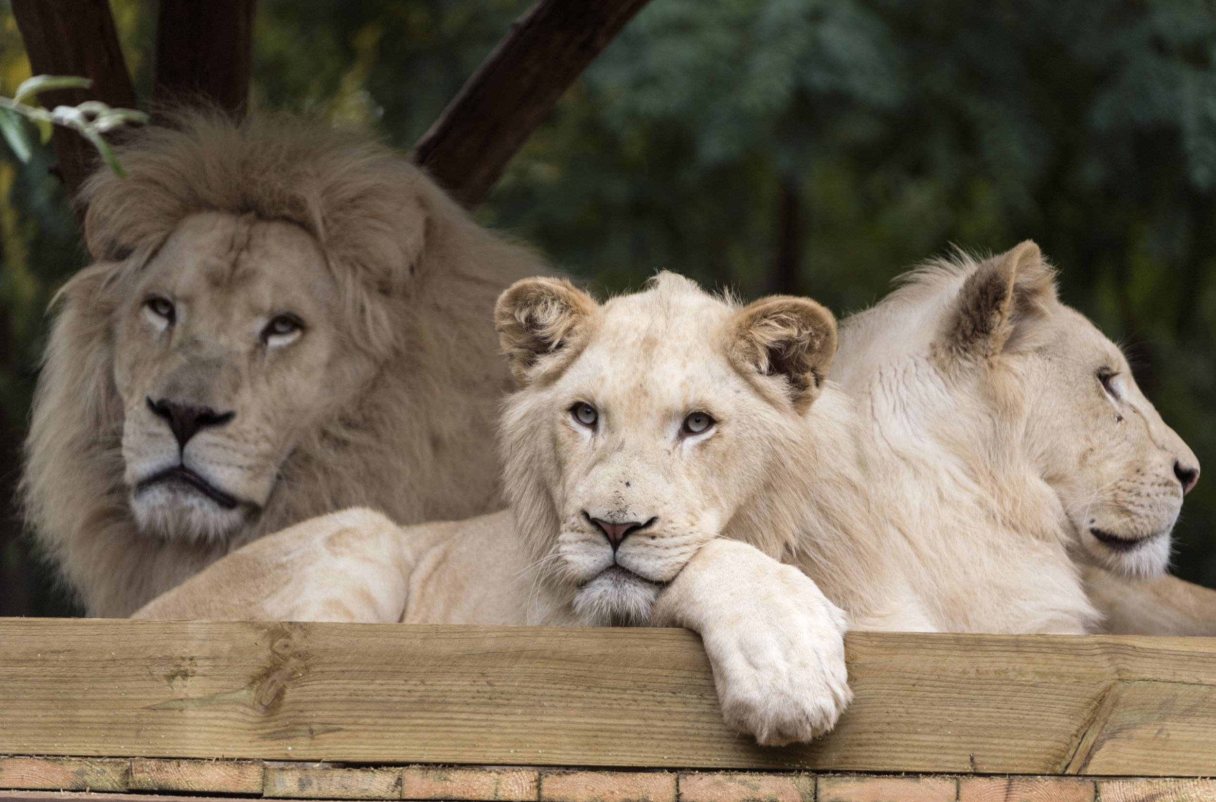 Rare White Lion, Mufasa, At Risk of Being Killed After
