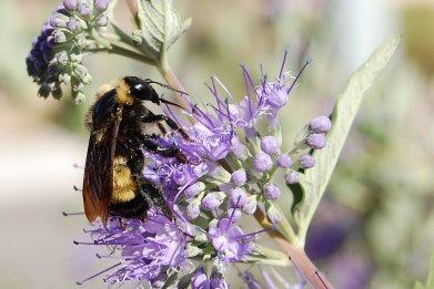 Bumblebee,_Albuquerque_PP_Sharp_Low