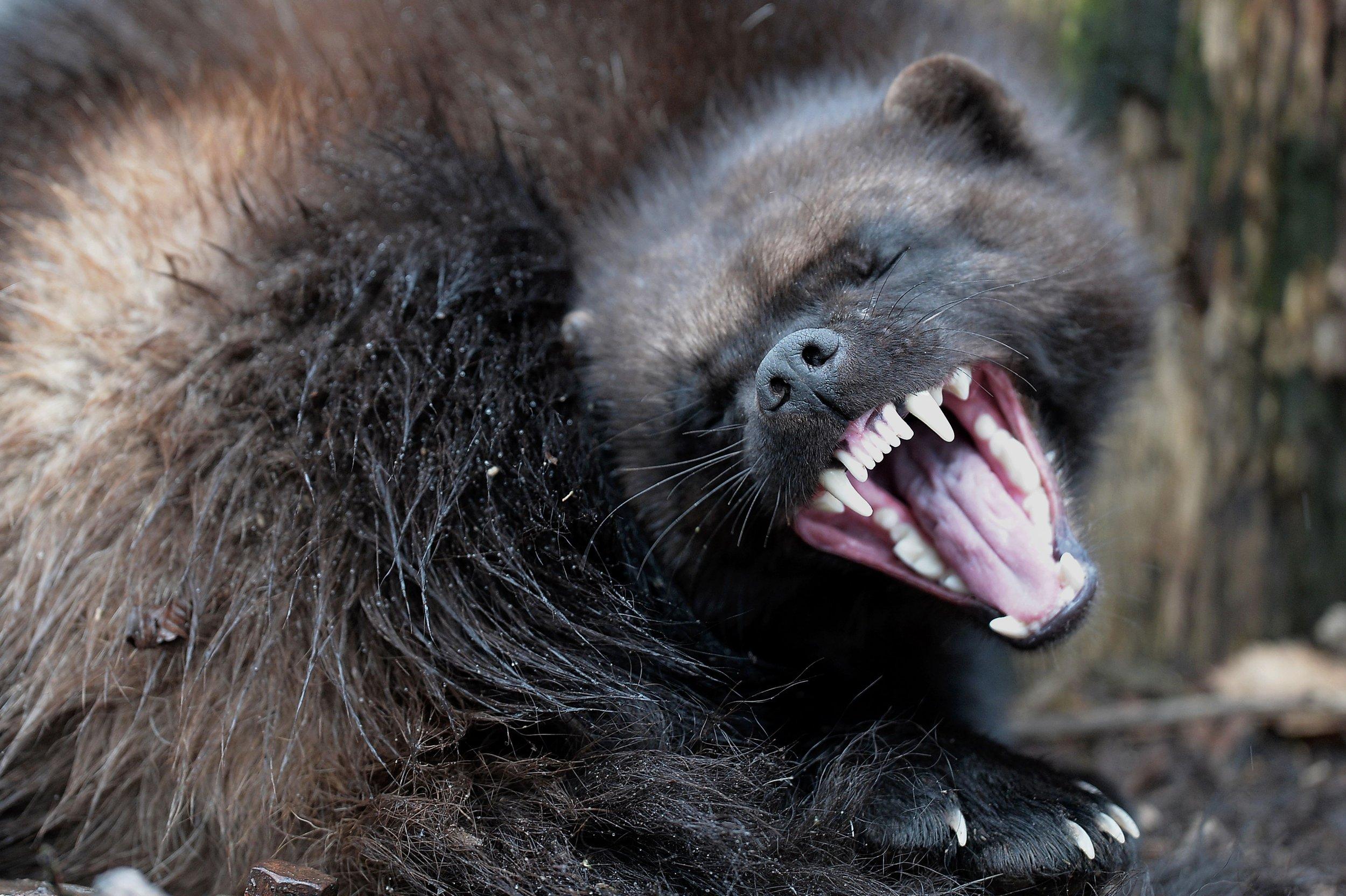 Wolverines //Endangered Species Act