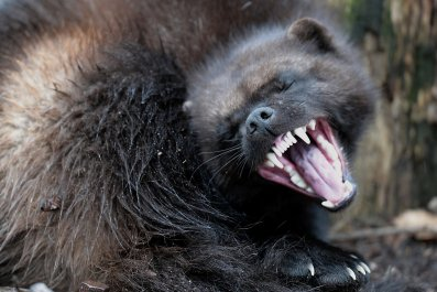 Wolverines //Endangered Species Act