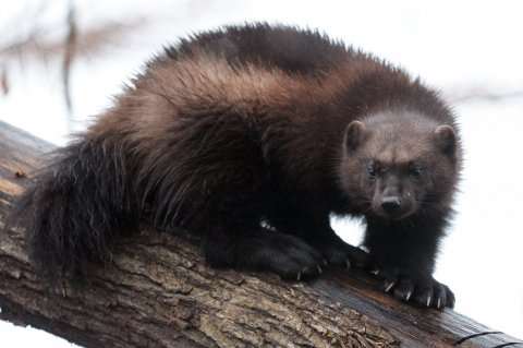 Wolverine -- not protected by Endangered Species Act