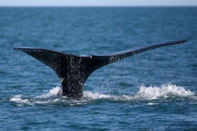 North Atlantic whale   ny times 2GICUYTTDUI6RPNBDDSTUREKCQ