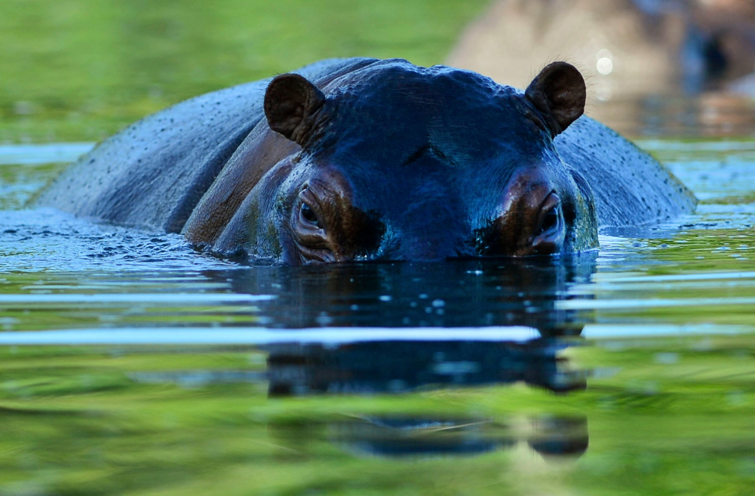 Hippo Attacks American Tourist Canoeing in Zimbabwe
