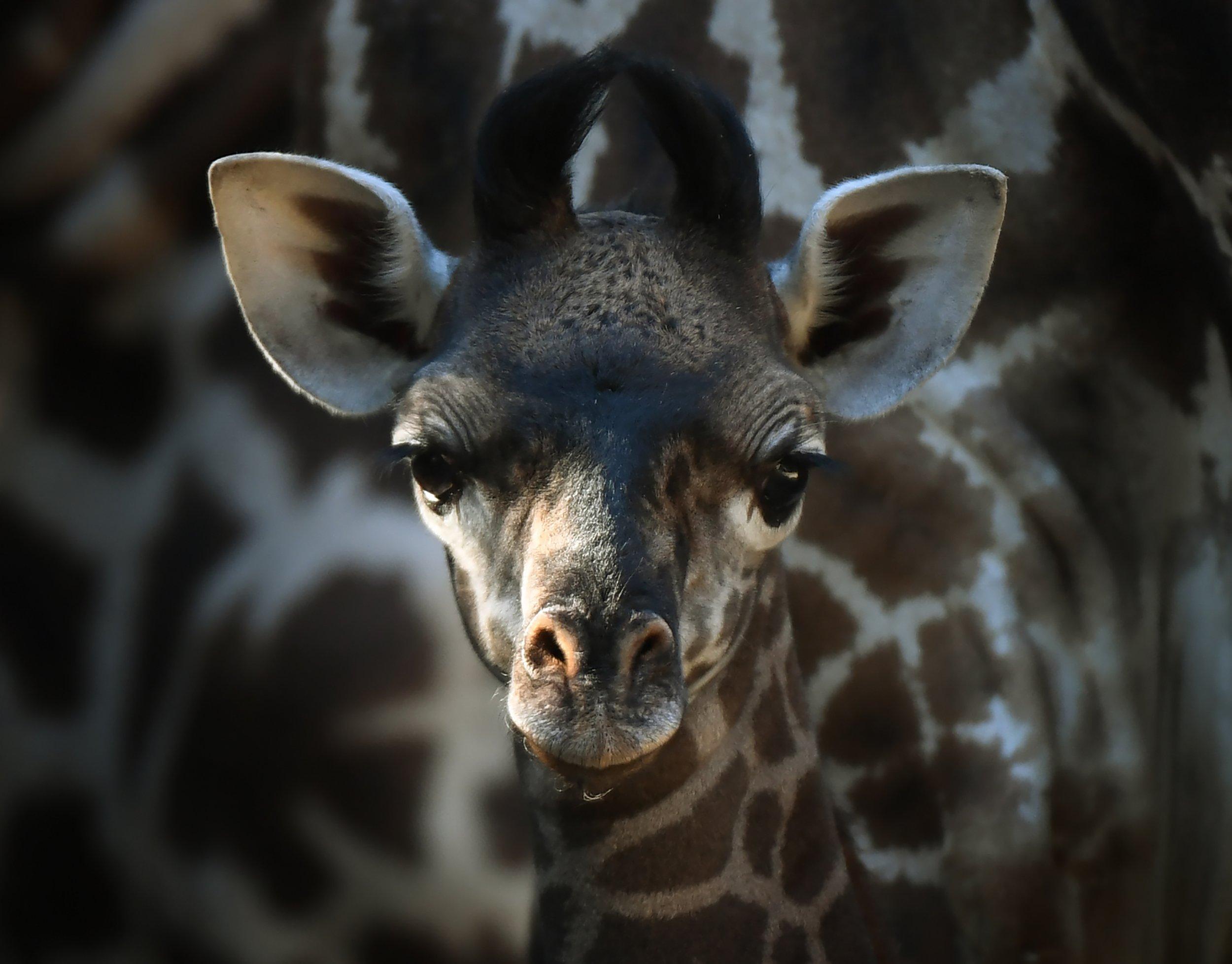 giraffe bby