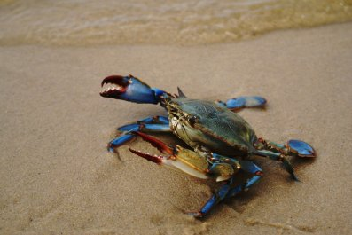 crab,getty,stock