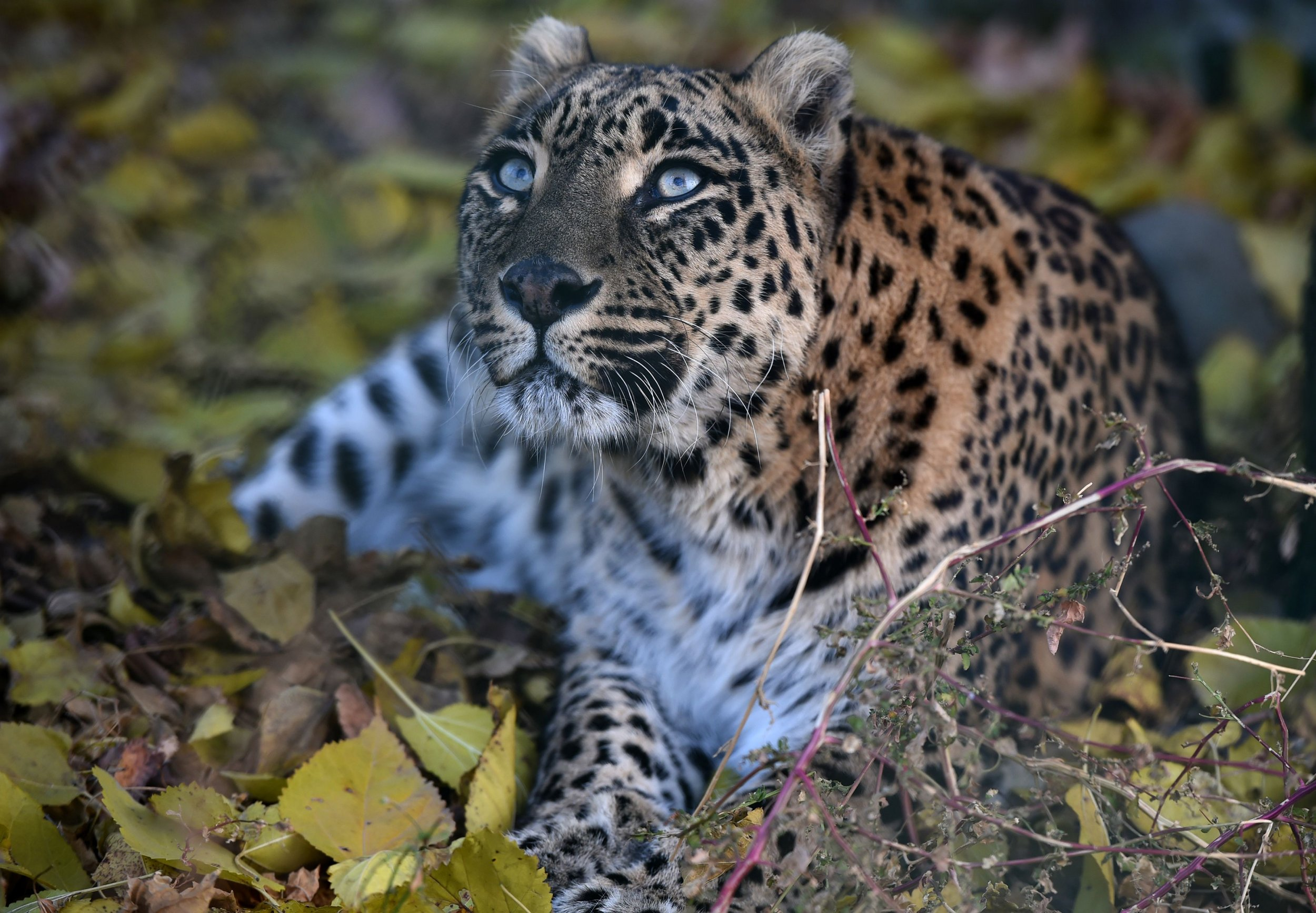 Leopard India Monk killed