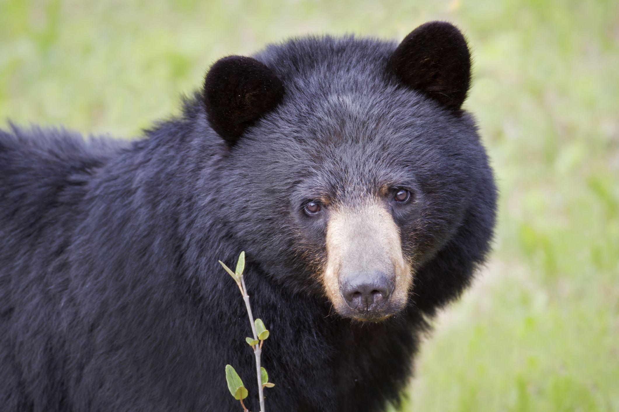 Pennsylvania Woman In Critical Condition After Bear