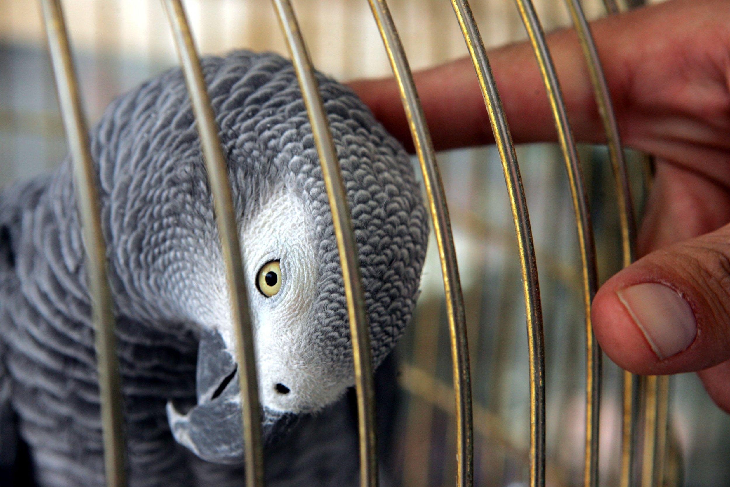 Parrot, Alexa, African Grey, England, Animals