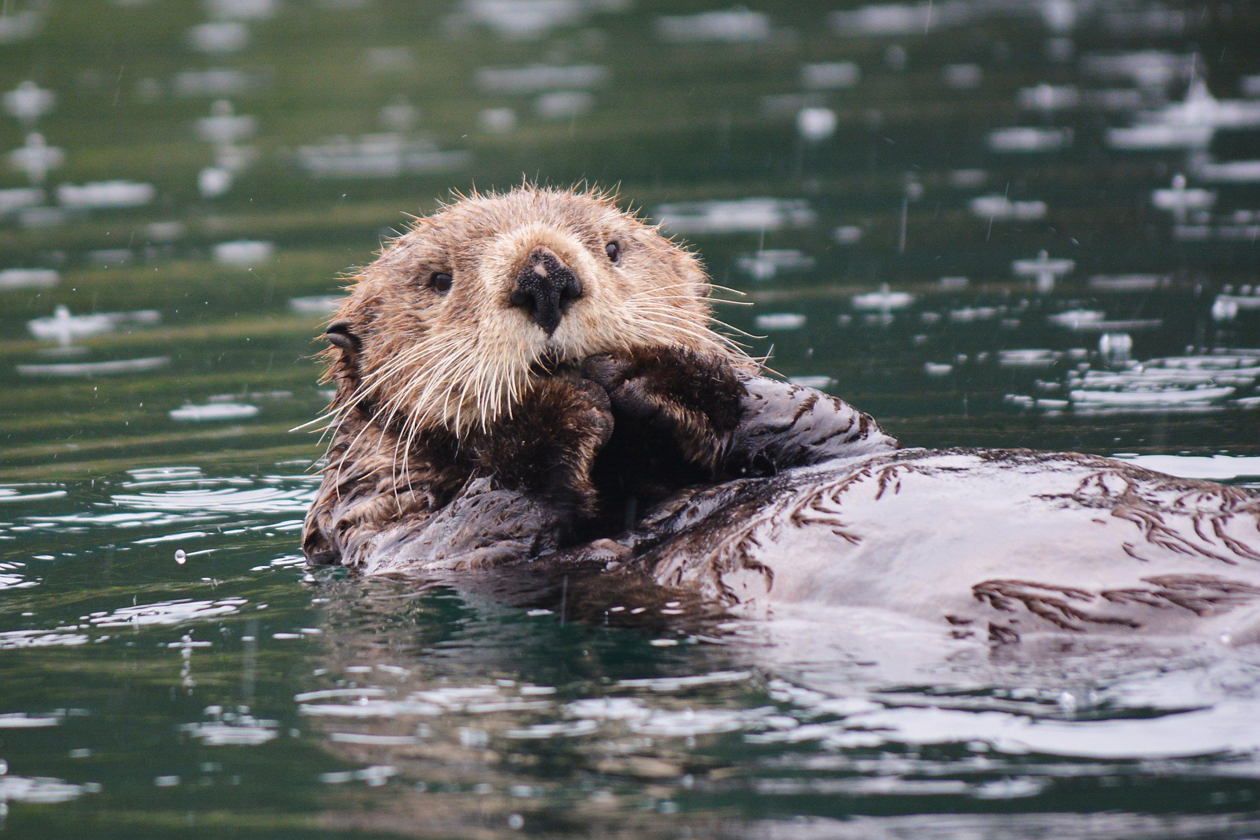 Sea_Otter