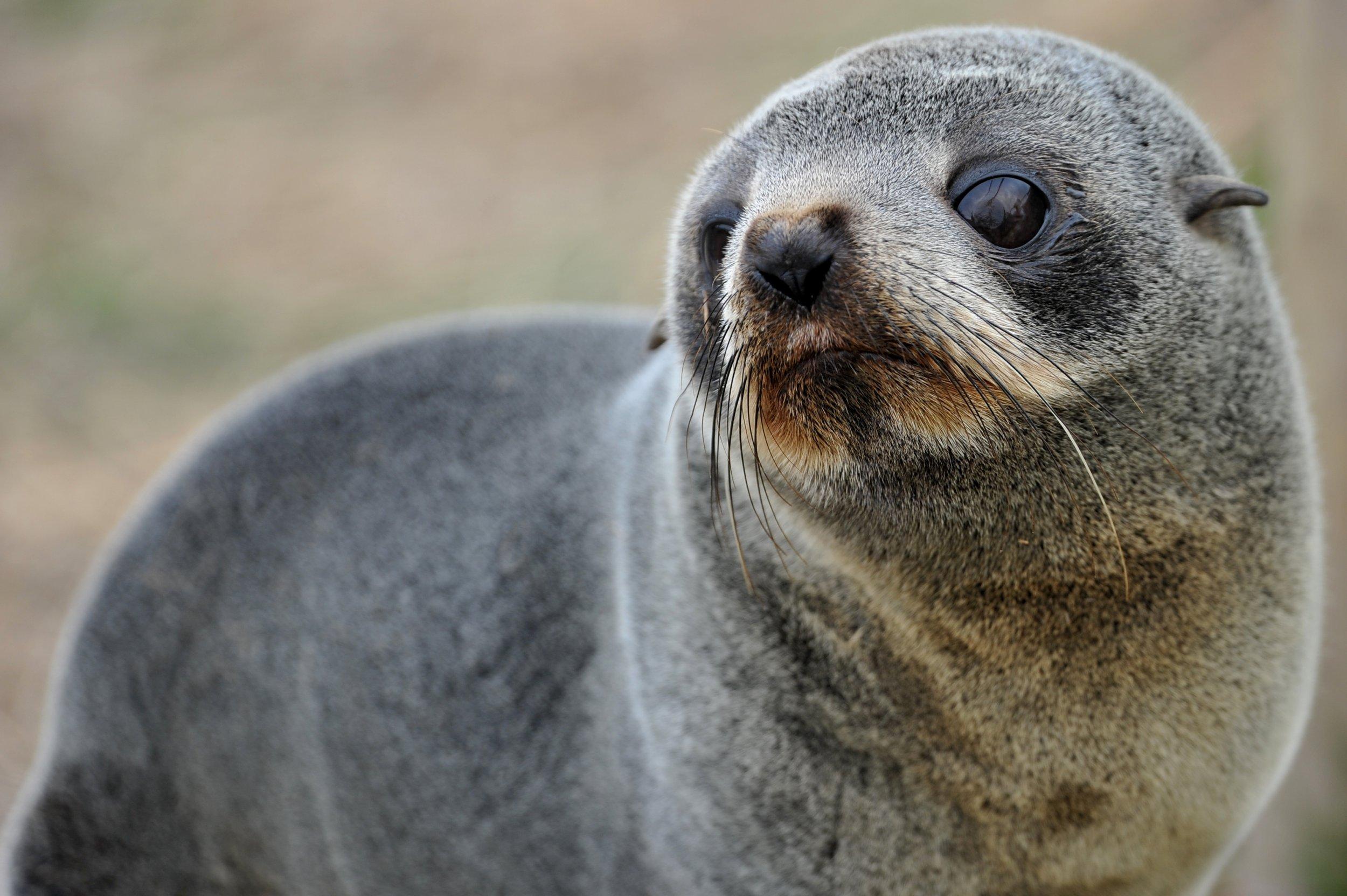 ушастые тюлени фото конца шоу оставались