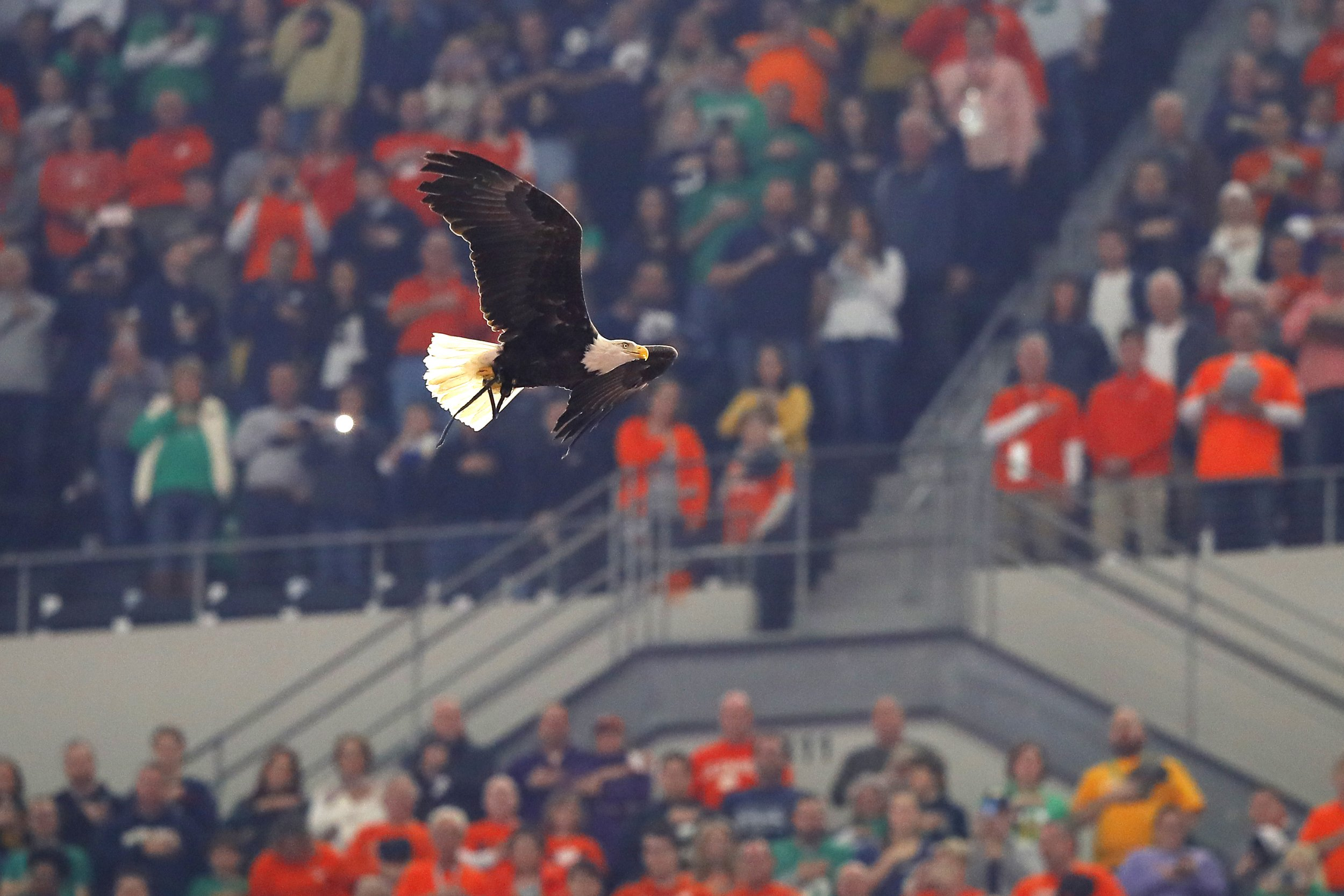 Bald Eagle Lands on Fans in Stadium During Cotton Bowl