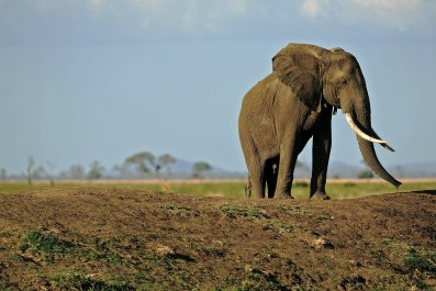 elephant tanzania