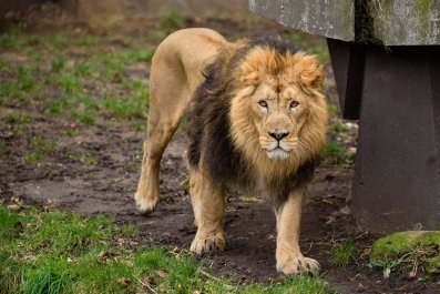 audio 911 call lion attack north carolina conservators center