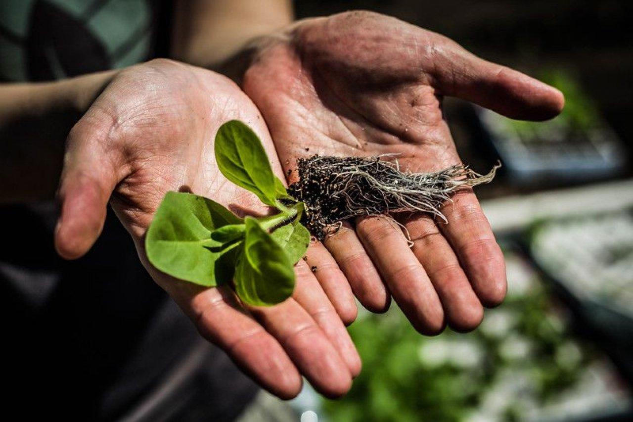 tobacco crop