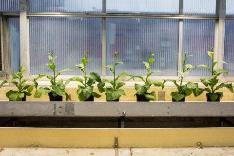 engineered plants