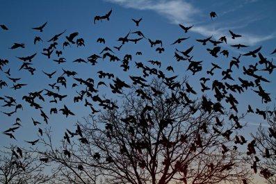 Crows Swarming Pennsylvania Street