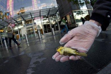 bird-collision deaths