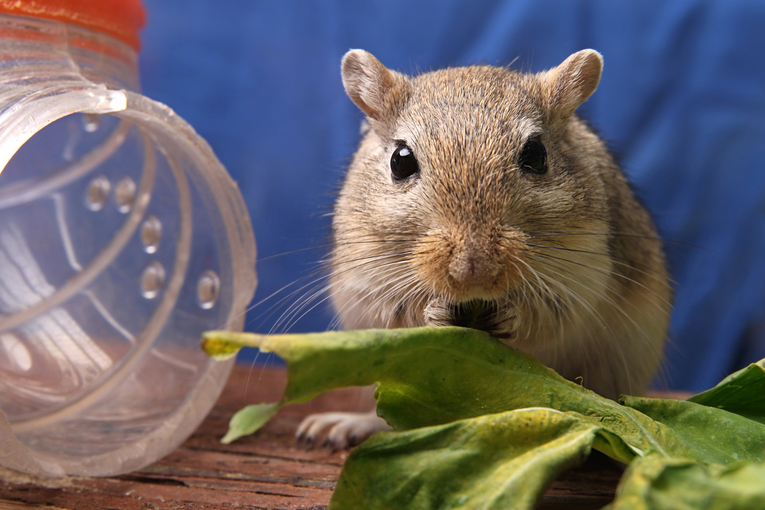 Gerbil, Police, Guns, Animal Rescue, Animal Welfare, UK