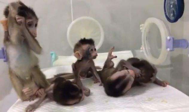 cloned monkeys china