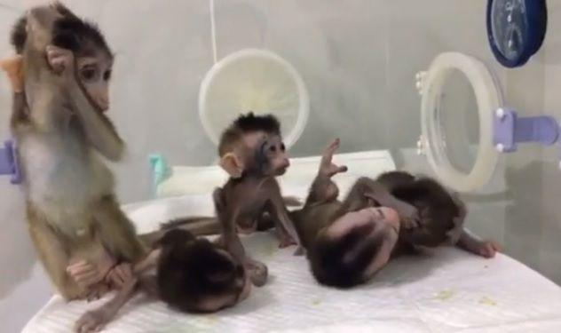 cloned monkeys china