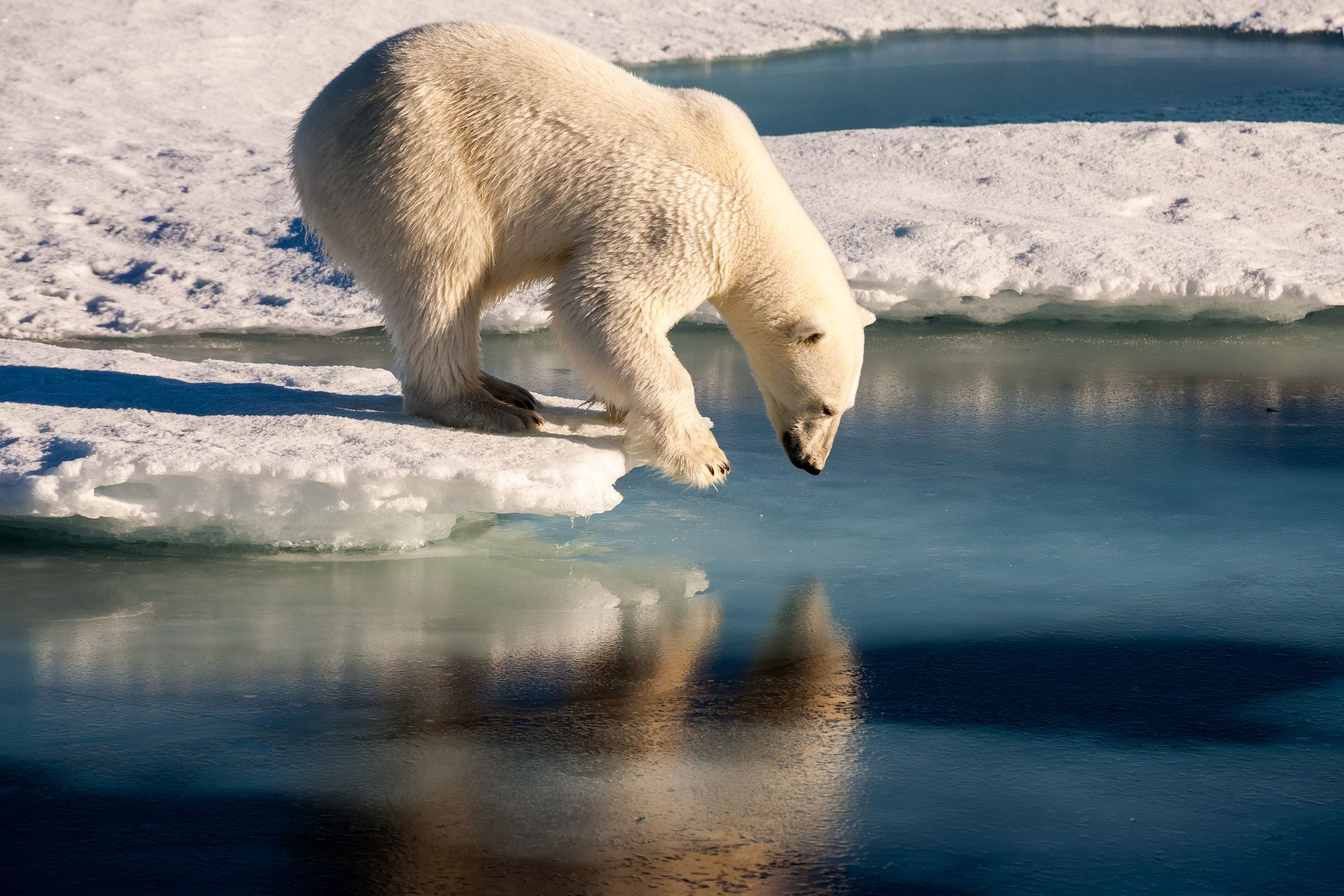 polar bear global warming stock getty