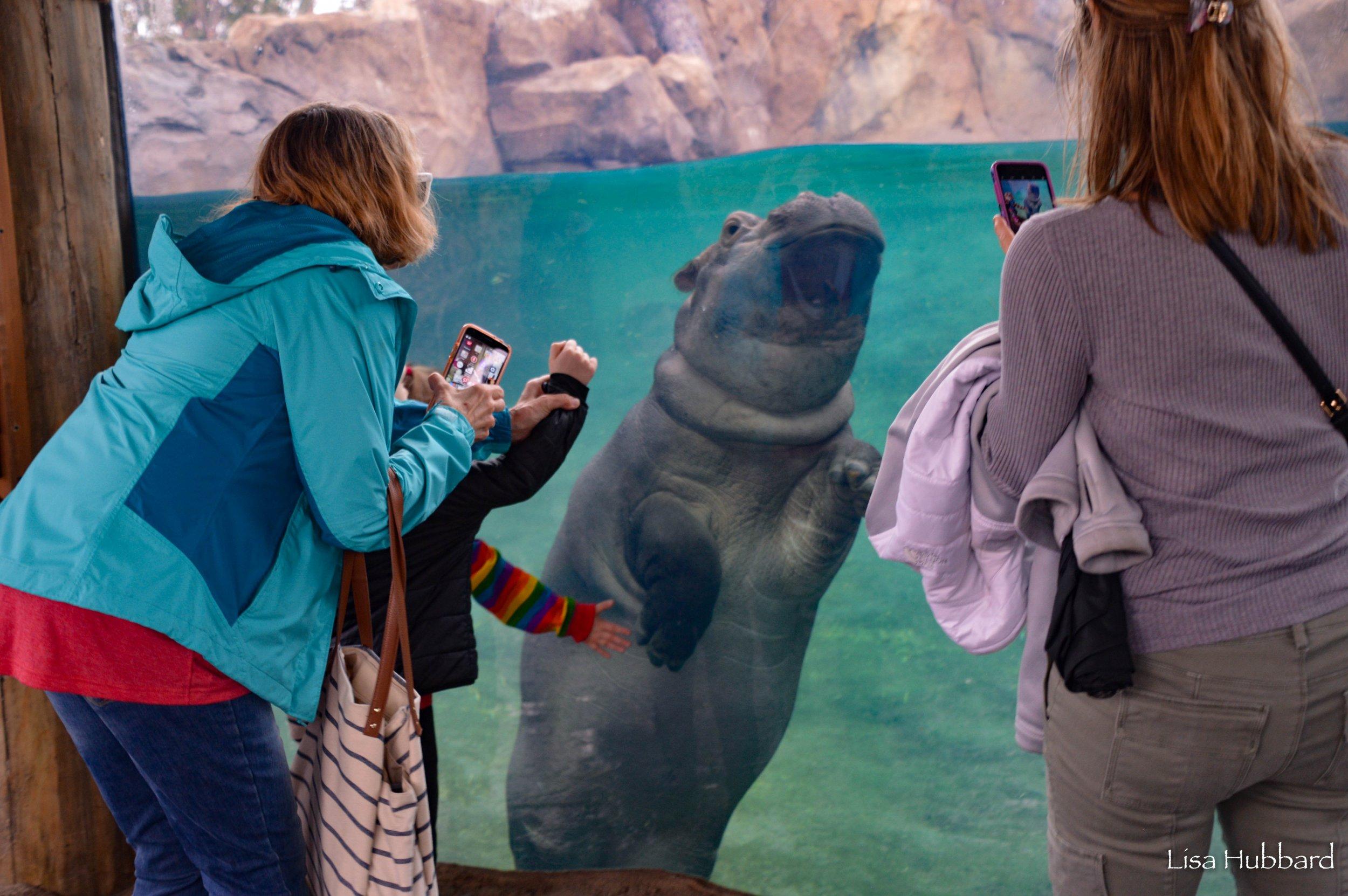 fiona the hippo turns 2, 2nd birthday, Cincinnati zoo