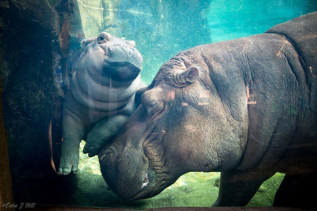 fiona the hippo bibi mom Cincinnati zoo