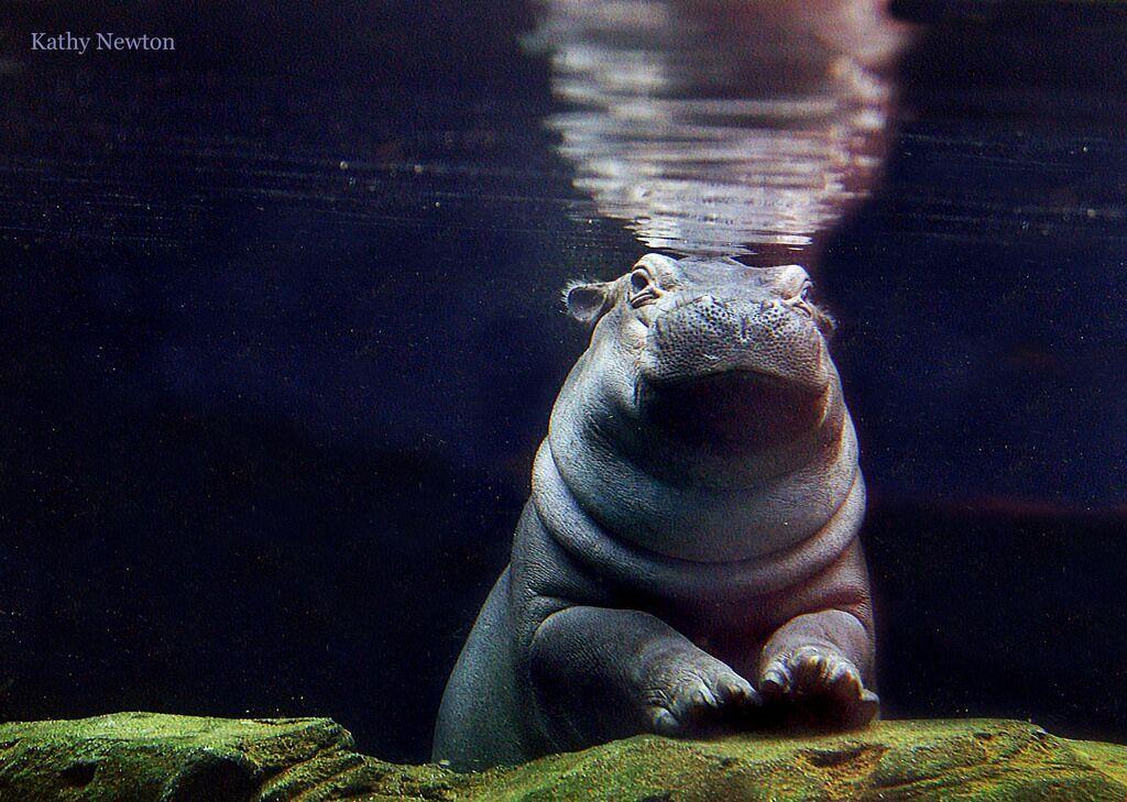 fiona the hippo 2nd birthday turns 2 Cincinnati zoo tourism