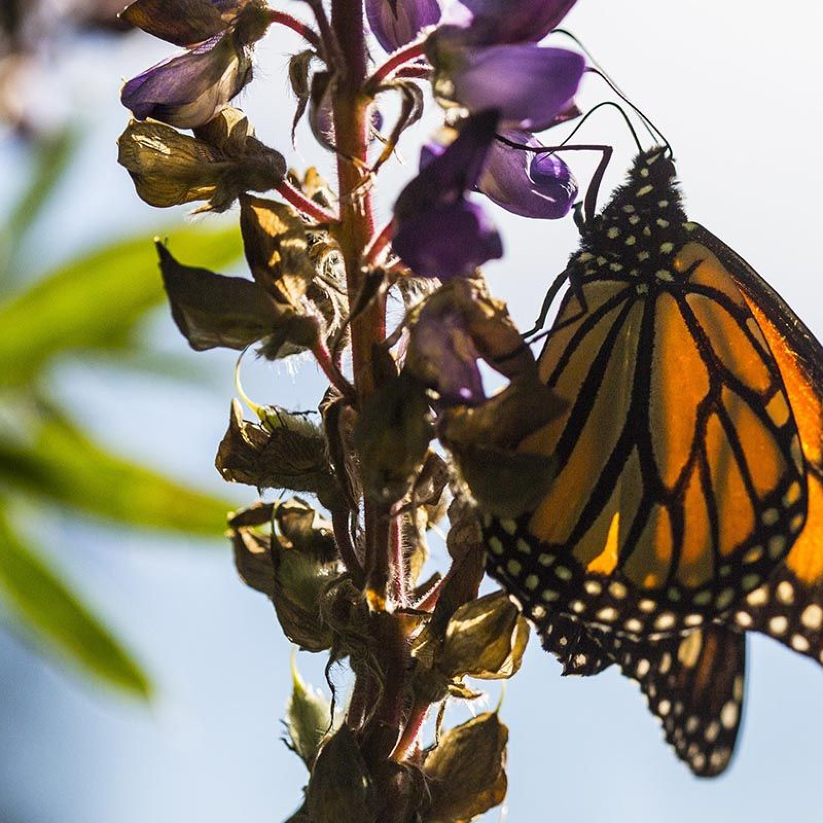 Monarch Butterflies Are Going Extinct  How Can We Save Them?