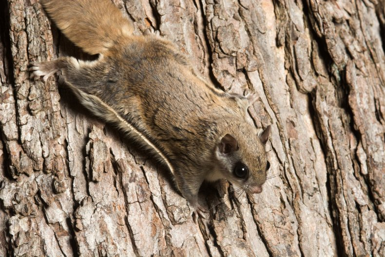 Pink Squirrel, Flying Squirrel, New World Flying Squirrel, Biology, North America