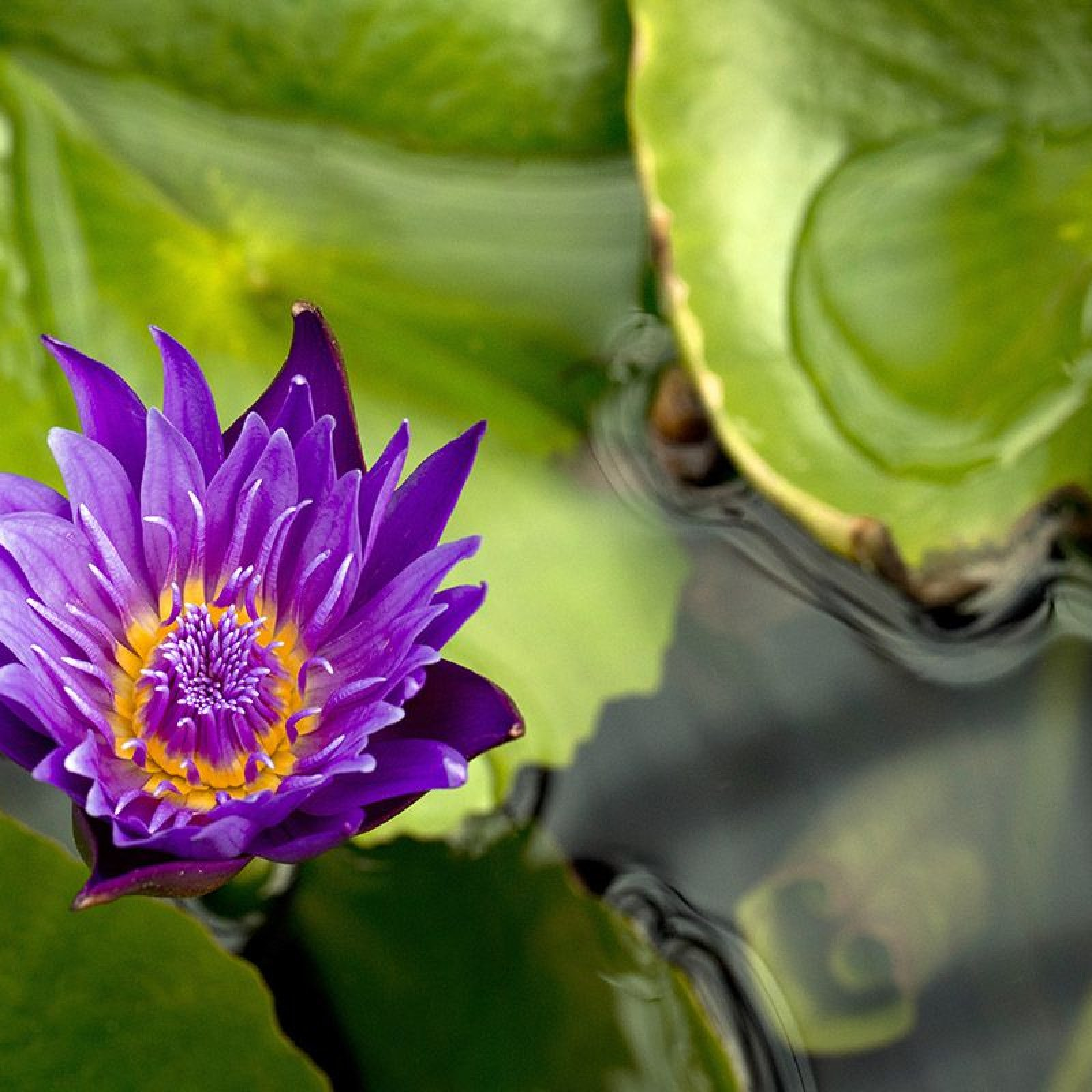 Water Lily Seeds Are The Hottest New Superfood Snack