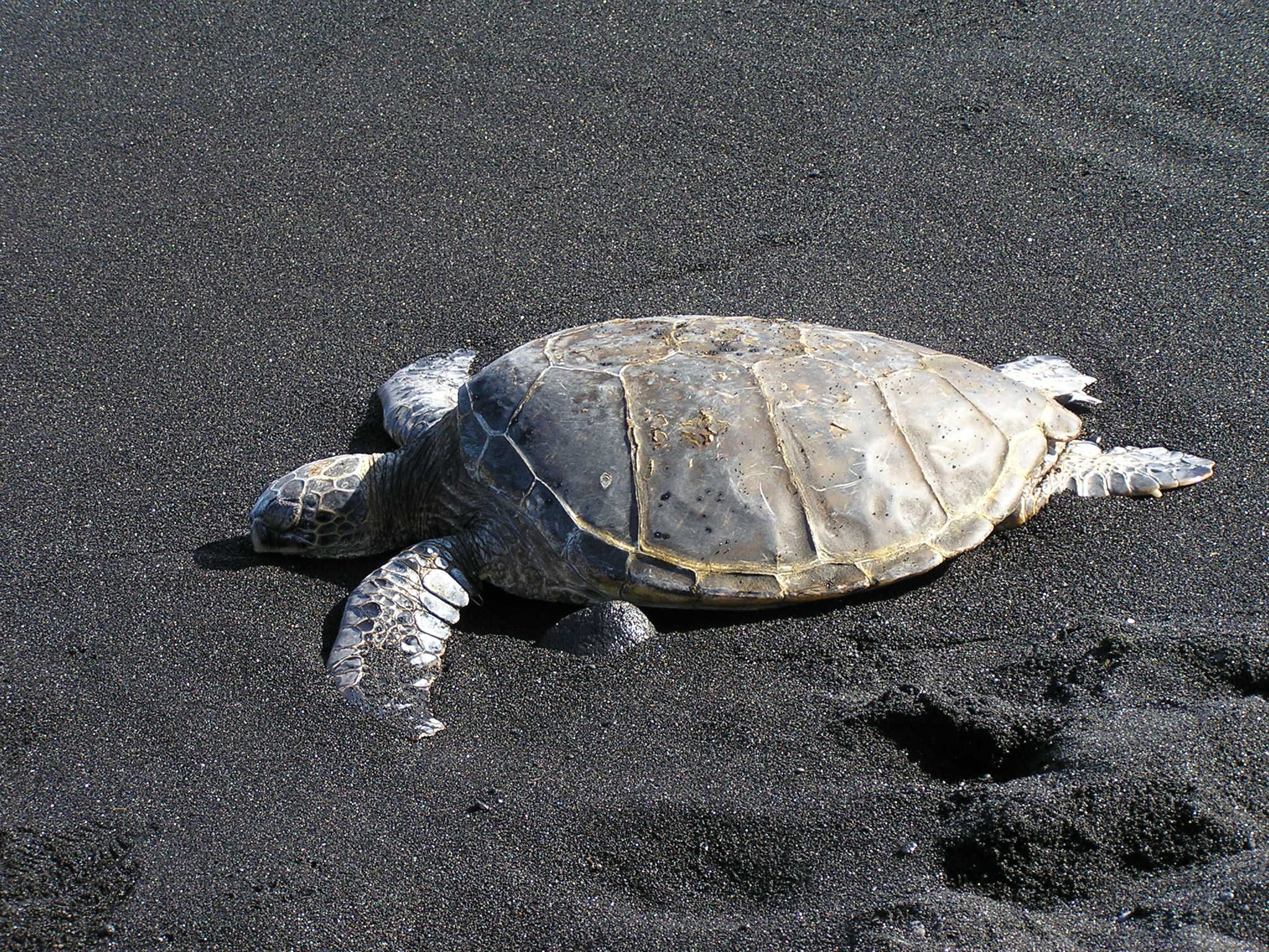 hawaii beach Punalu'u Bland Sand beach