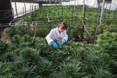 next, marijuana, exporter, Middle, East