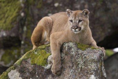 Mountain Lion (Stock image)